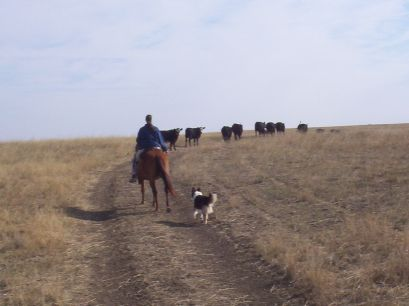 Marna, Missy & Raya moving some cows
